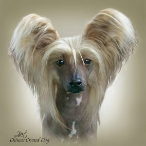 CHINESE CRESTED DOG 04 - Zdjęcie