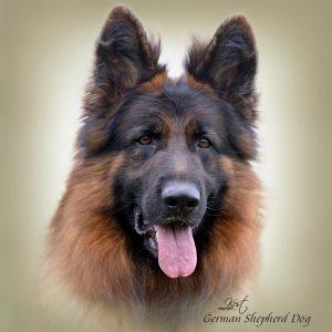 GERMAN SHEPHERD DOG LONG-HAIRED 02 - Zdjęcie