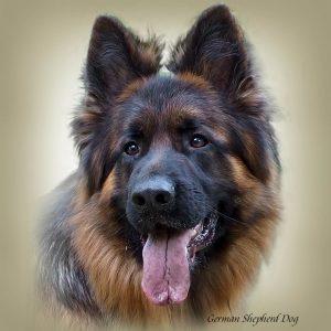 GERMAN SHEPHERD DOG LONG-HAIRED 03 - Zdjęcie