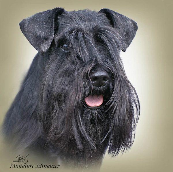 SAINT BERNARD DOG SHORT-HAIRED - Zdjęcie