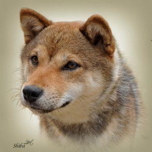TATRA SHEPHERD DOG 02 - Zdjęcie