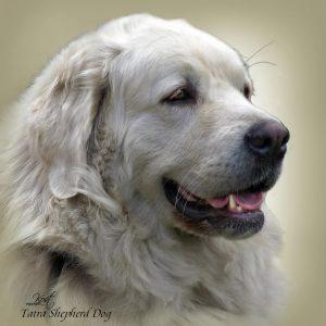 TATRA SHEPHERD DOG 03 - Zdjęcie
